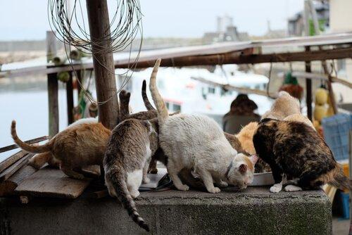 gatti che mangiano su isola del Giappone