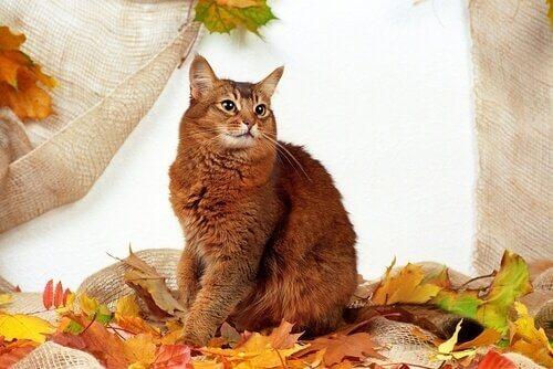 gatto della somalia seduto sulle foglie