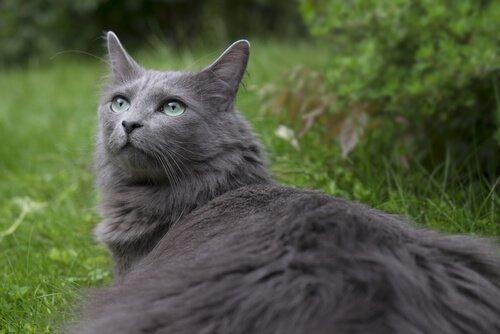Gatto nebelung: storia e caratteristiche