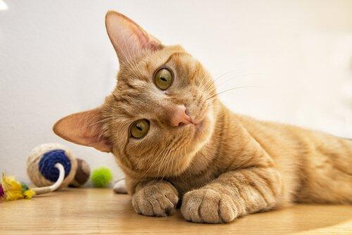 Quali sono le razze di gatti più intelligenti?