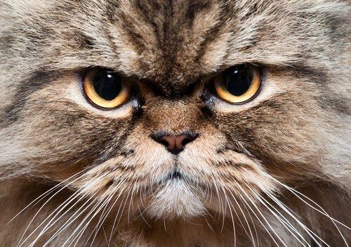 muso del gatto tedesco dal pelo lungo