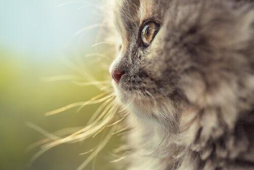 gatto tedesco dal pelo lungo