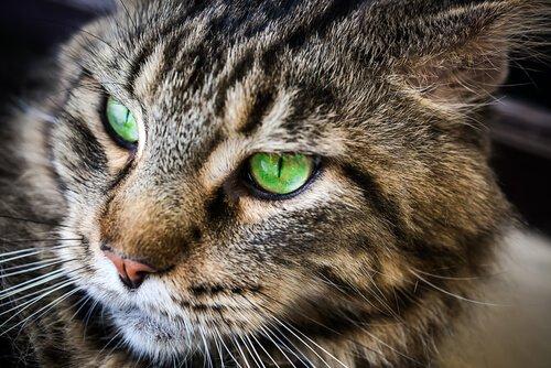gli occhi verdi del Gatto asiatico fumo tigrato