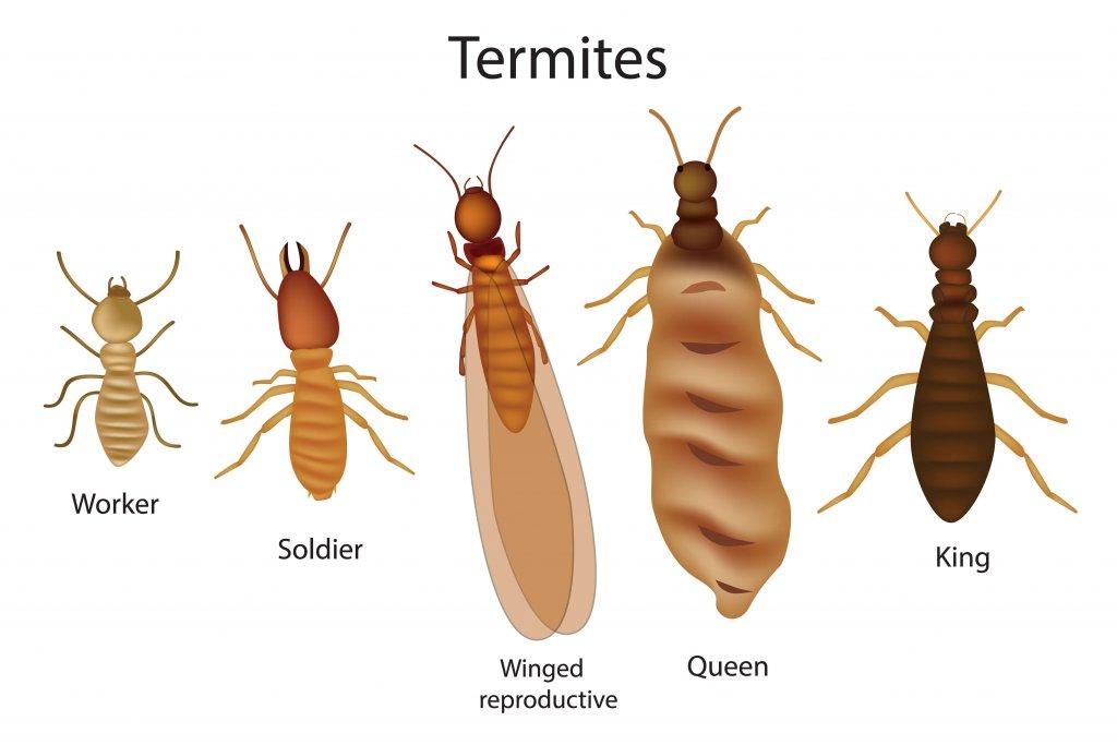 i cinque tipi principali di termiti in un disegno