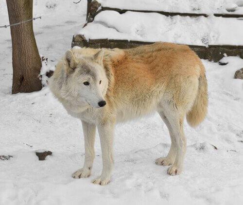 il bellissimo lupo della siberia visto di profilo