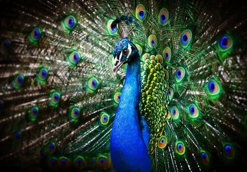 Pavone: alla scoperta dell'uccello più affascinante del mondo