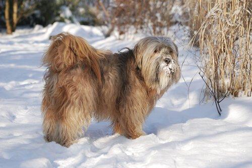 tibetan terrier in montagna