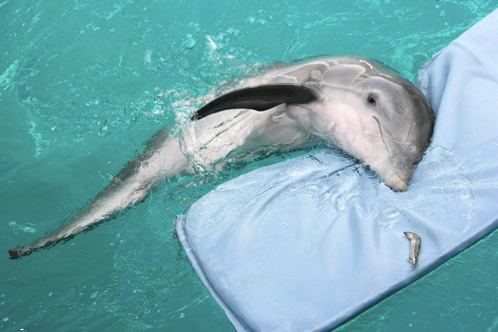 il delfino winter a galla su un materassino