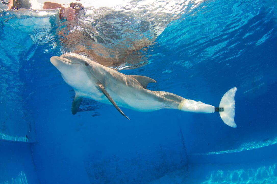 il delfino winter nuota con la protesi della coda
