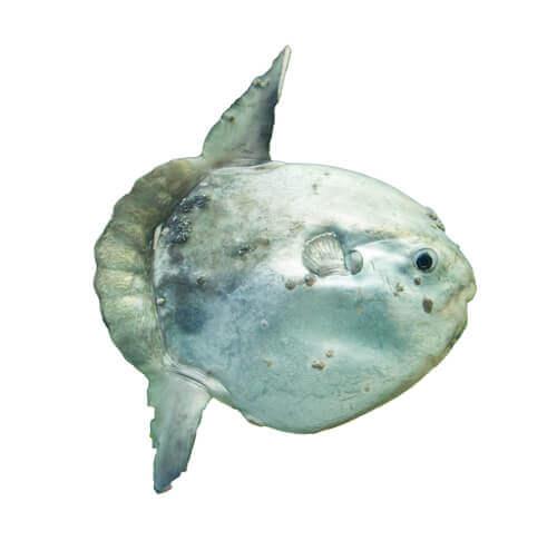 Pesce luna visto da vicino