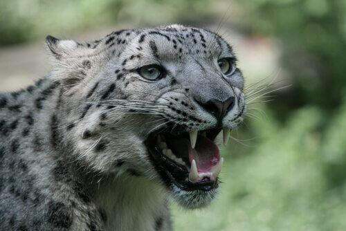 Leopardo delle nevi mostra i denti