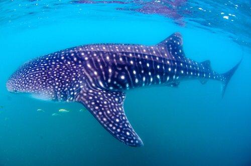 il tipico manto a pallini dello squalo balena