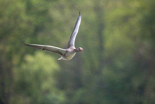 il volo di un'oca bianca