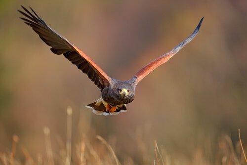 il volo raso di una poiana di harris