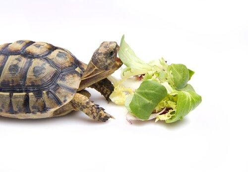 In che modo si alimenta una tartaruga?
