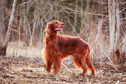 Setter irlandese: un cane bello e affettuoso