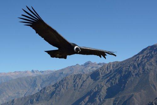 la straordinaria apertura alare di un condor