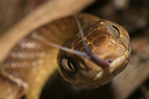 la testa di un serpente che sibila