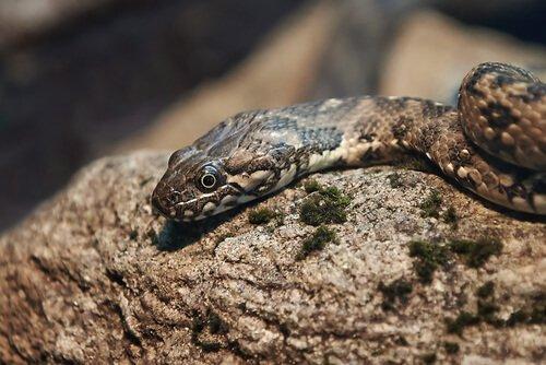 Tipi di serpenti colubridi in italia