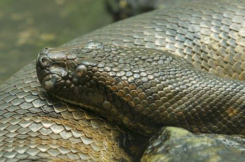 5 serpenti costrittori che dovete conoscere