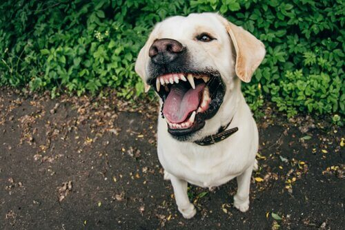 labrador bianco mostra i denti