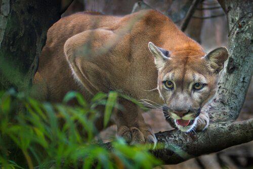 Puma: il leone di montagna americano
