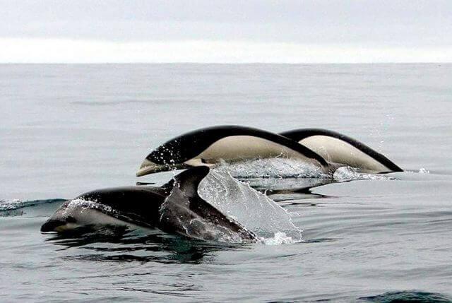 due esemplari di lissodelfino e un delfino comune