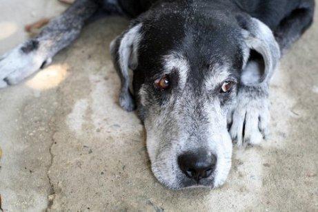 Sguardo preoccupato di un cane anziano sdraiato