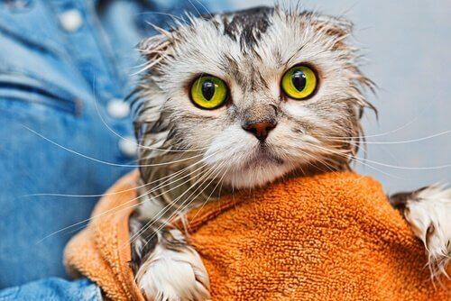 Sguardo spaventato di un micio subito dopo il bagno