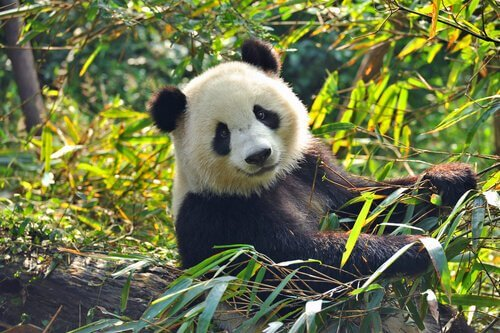 Panda nel bosco