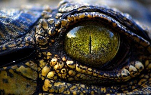 l'occhio di un Caimano