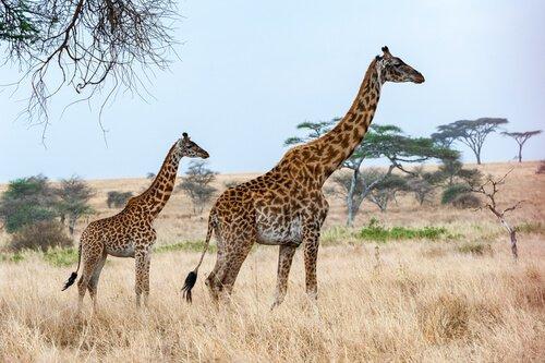 mamma giraffa con un cucciolo di lato nella savana