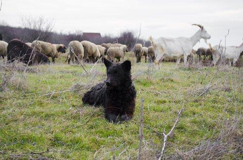 Mudi e bestiame