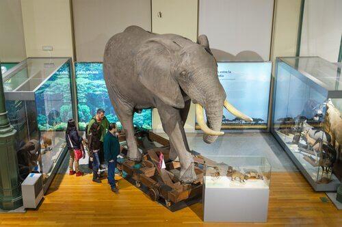 elefante nel museo di Madrid