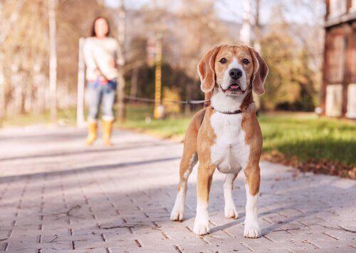 padrona porta a spasso cagnolino con il Guinzaglio avvolgibile