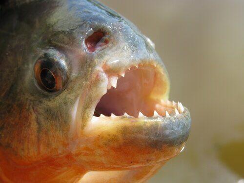Piranha: il pesce più temuto e imprevedibile