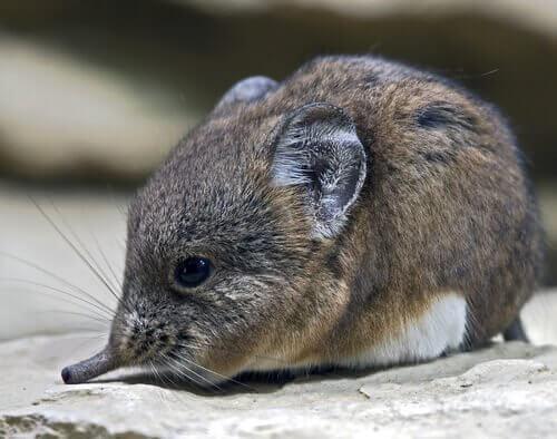 particolare della testa e del muso di un piccolo toporagno