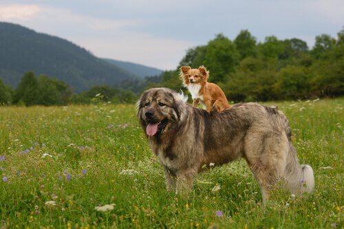 Il pastore del Caucaso, un gigante tra i cani