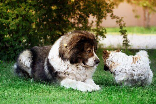 pastore del caucaso e cagnolino