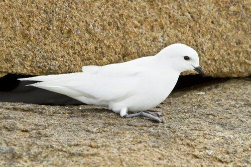 uccello petrello delle nevi