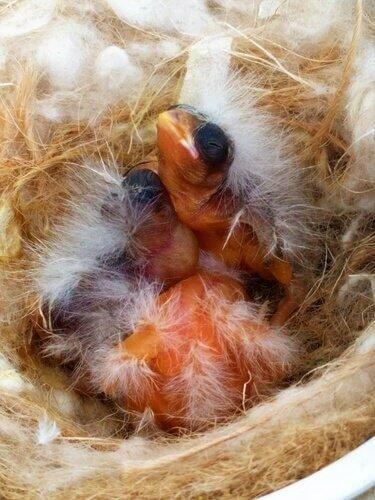 piccoli canarini nel nido