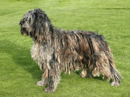 profilo di un Cane da pastore bergamasco su un prato
