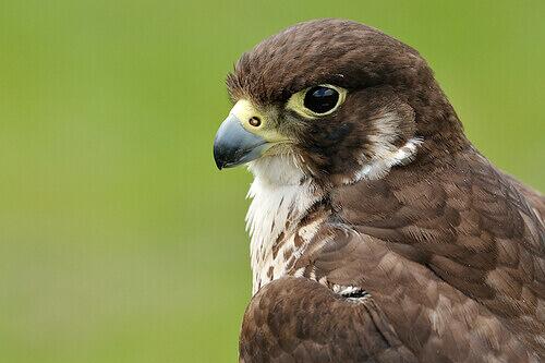 profilo ravvicinato di un falco