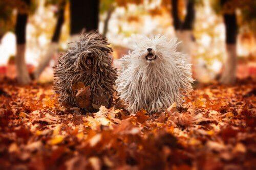 un puli marrone e uno bianco corrono su foglie secche