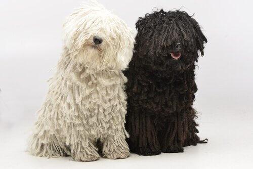 due puli uno bianco e l'altro nero