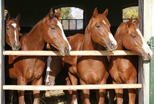 quattro cavalli marroni si affacciano dalla stalla sotto il sole