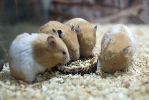 quattro criceti mangiano nella gabbia