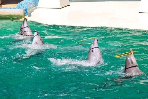 quattro delfini durante uno spettacolo in un delfinario