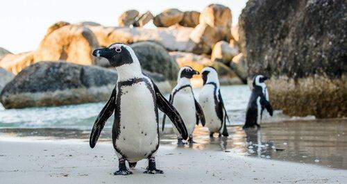 quattro pinguini camminano sui ghiacci