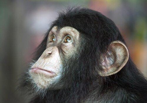 scimpanzé Cita